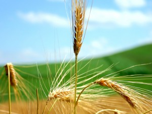 78445825wheat-policy-Pakistan